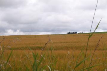 Whisky noch im Urzustand: als Gerste (Barley)