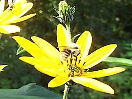 Blüte einer Topinambur-Pflanze