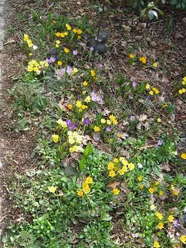 Frühlingswiese bei AlbinZ mit Krokussen