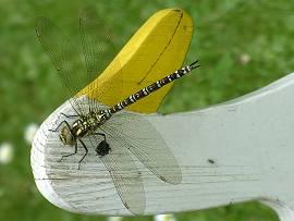 Fauna im Garten: Libelle