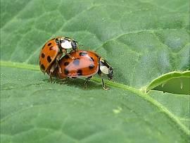 Fauna im Garten: Marienkäfer