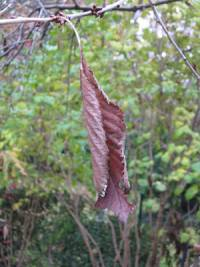 Das letzte Blatt am Baum