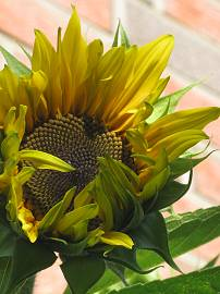 Sonnenblumen in AlbinZ Garten (September 2010)