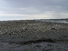 Wattenmeer bei der Insel Neuwerk: Muschelbank