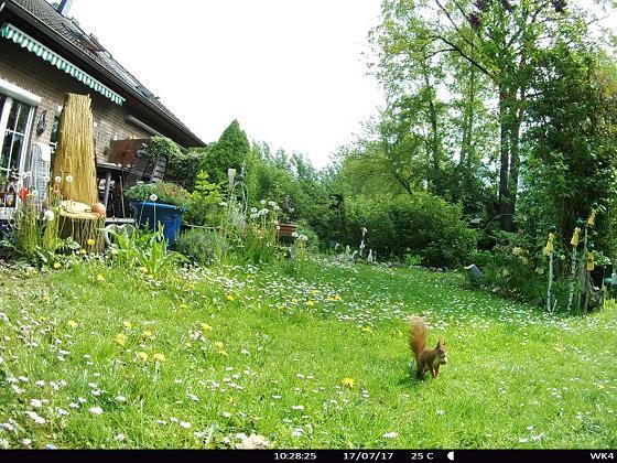 Eichhörnchen als Zaungast in AlbinZ Garten