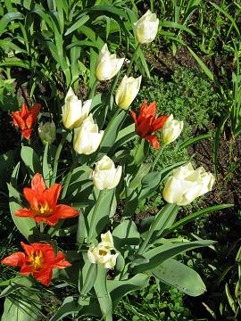 Tulpen in Albinz Garten (April 2014)