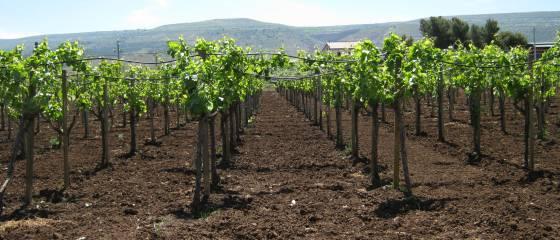 Sizilien 2015: Anbau eines schmackhaften roten Landweins