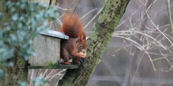 Eichhörnchen in Albinz Garten Januar 2017 © K.B./Tostedt