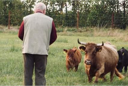 Dirk Bostelmann und die Rindviecher (Dexter-Rinder)