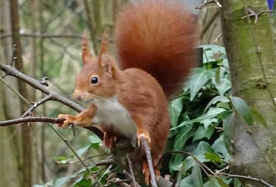 Eichhörnchen bedient sich beim Vogelfutter (1)