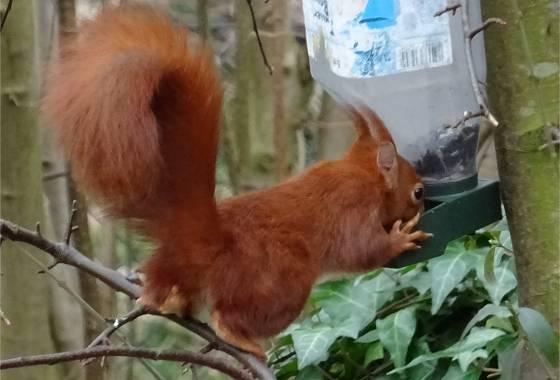 Eichhörnchen bedient sich beim Vogelfutter (2)
