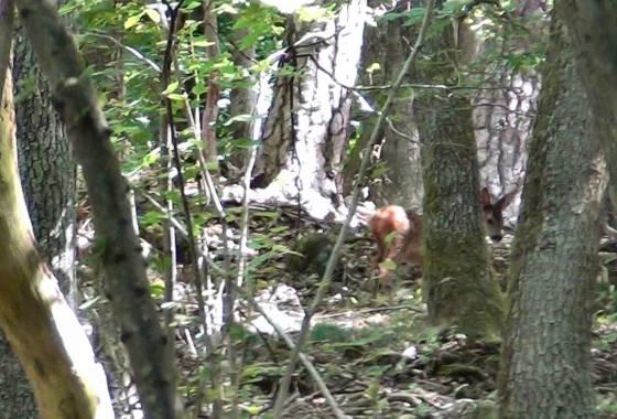 Über Stock und Stein: Rehe im Wald