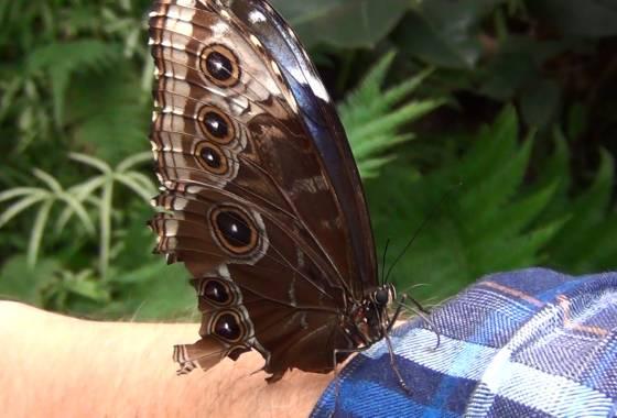 Schmetterling auf Willis Arm – Schmetterlingspark Buchholz/Seppensen