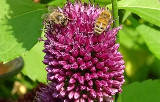 Bienen auf Zierlauch