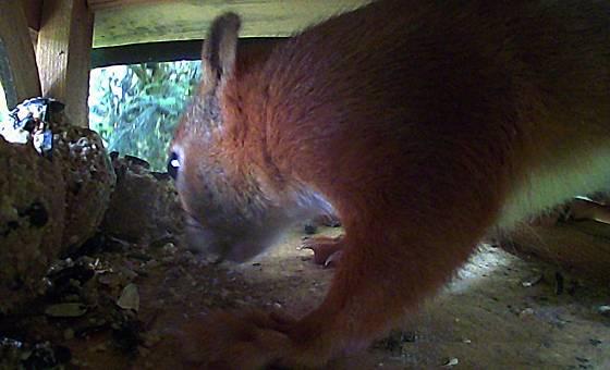 Eichhörnchen bedient sich im Futterhaus für Vögel