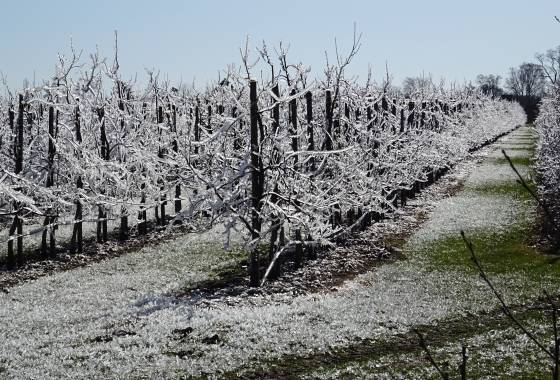 Obstbäume nach Frostschutzberegnung
