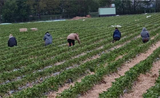 Erste Erdbeeren aus Tostedt: Erntehelfer im Einsatz