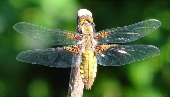 Libelle Plattbauch (Libellula depressa) - junges Weibchen