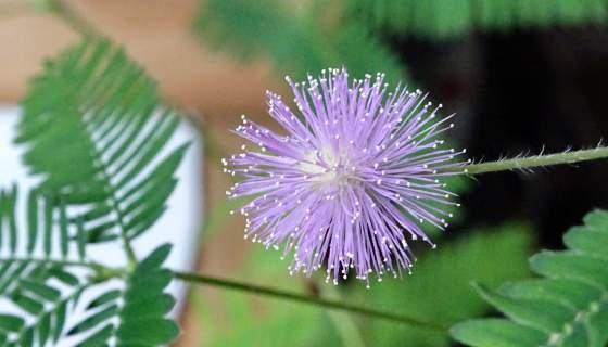 Blühende Mimose (Mimosa pudica)