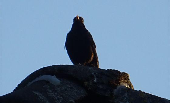 Singer on the Roof: Amsel unterhält sich mit Artgenossen