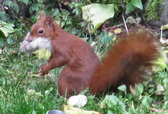Weihnachtliches Eichhörnchen