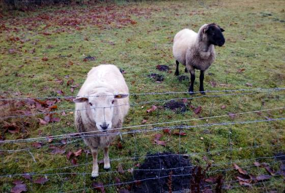 Schafe auf der Wiese bei Todtglüsingen